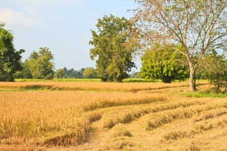 Mature rice field is harvesting at Thailand photo