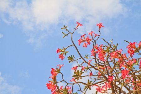Pink Bignonia on blue sky background photo