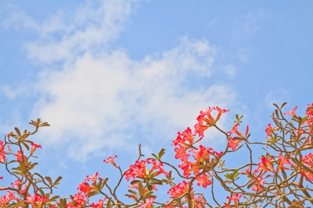 Pink Bignonia on blue sky background Stock Photo - 17184231