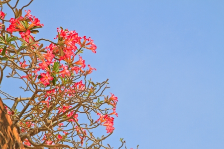 Pink Bignonia and wall on blue sky background Stock Photo - 17184295