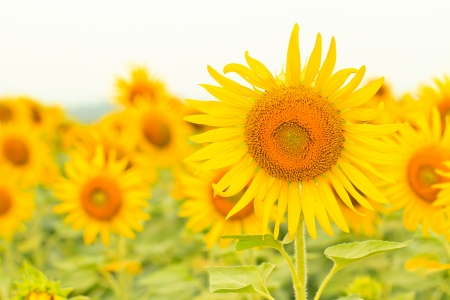 sunflower in field , You can use background photo