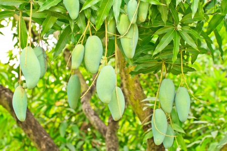 Close up of mangoes on a mango tree in  plantation photo