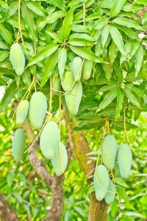 Close up of mangoes on a mango tree in  plantation Stock Photo