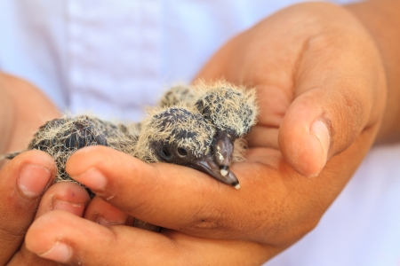 nestling: Pigeon nestling baby on hand and white background
