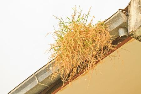 Home maintenance   Grass in rain gutter  Stock Photo
