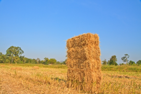 Straw by product from rice field after collecting season in rural of Thailand  photo
