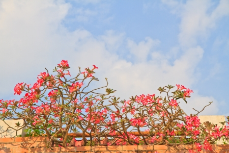 Pink Bignonia and wall on blue sky background photo