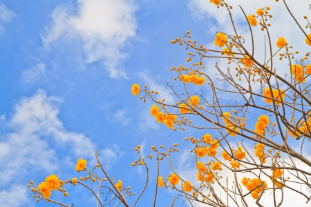 yellow cotton tree against blue sky background