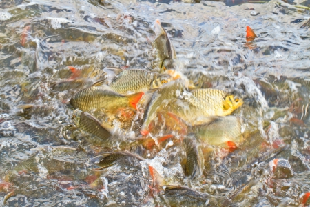 The common Carps in water, Snatching feed Stock Photo - 17794952