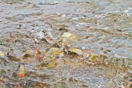 The common Carps in water, Snatching feed Stock Photo - 17794956