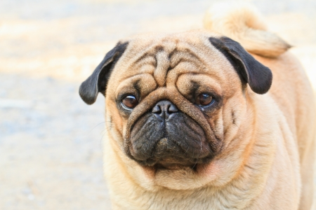 Portrait a cute Pug dog with a sad, flat face Stock Photo
