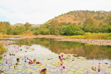 Pink lotus in pond near mountain from Thailand photo