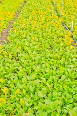 Chinese mustard green in farm photo