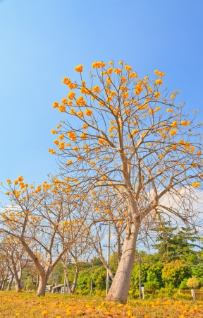 yellow cotton tree against blue sky background  photo