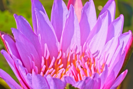 Clouseup pink lotus and bees from Thailand photo