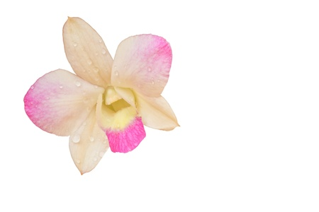 pink orchid flowers  Isolated on white background Stock Photo