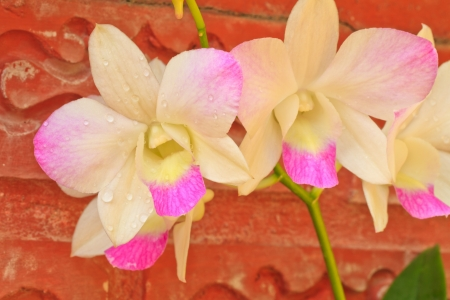 pink orchid flowers   On red brick wall  background Stock Photo