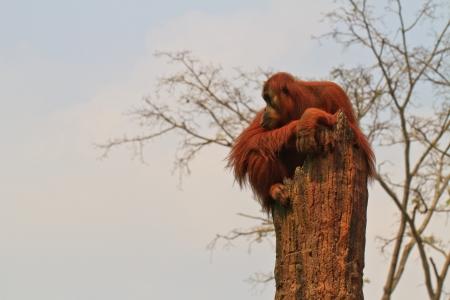 hominid: Thailandia, Lop Buri - Piccola orangutan, seduta sul ceppo di albero