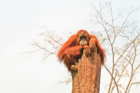 orangutang: Thailand,  Lop Buri  - Little Orangutan sitting on the  tree stump Stock Photo