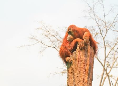 hominid: Thailandia, Lop Buri - Little Orangutan seduta sul ceppo di albero