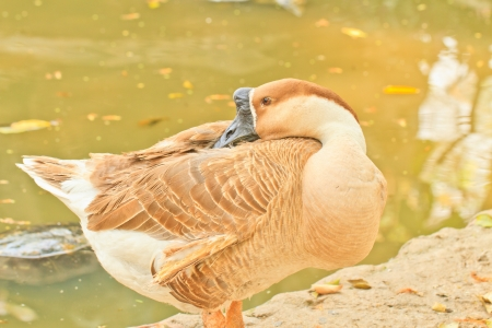arched neck: white and brown goose on water background