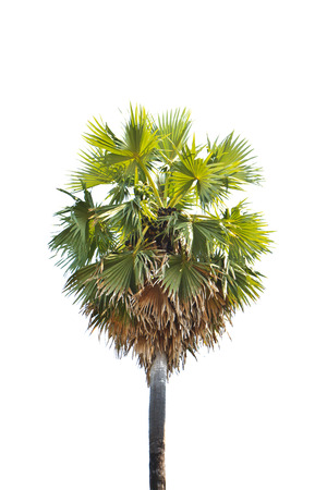 palmyra palm: Palmyra palm tree isolated on white background Stock Photo