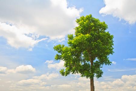 neem: The Neem Tree on blue sky background Stock Photo