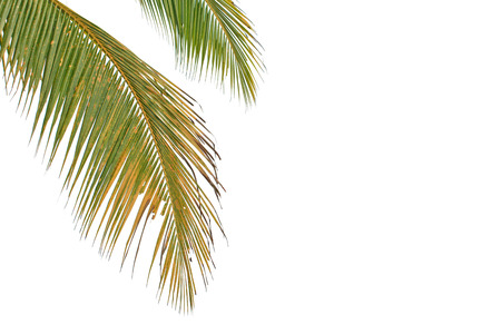cycadaceae: Leaves of coconut tree isolated on white background