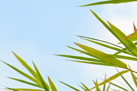 Fresh bamboo leaves Stock Photo