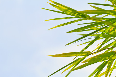Fresh bamboo leaves border, sunny blue sky, abstract floral natural background, botanical zen forest