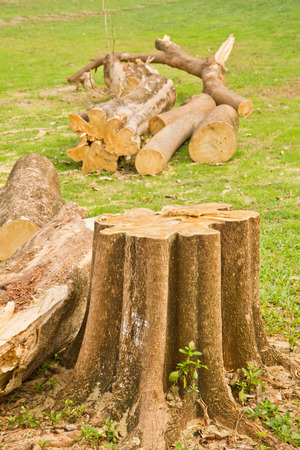 recently: a tree stump of a recently sawed down tree  Stock Photo