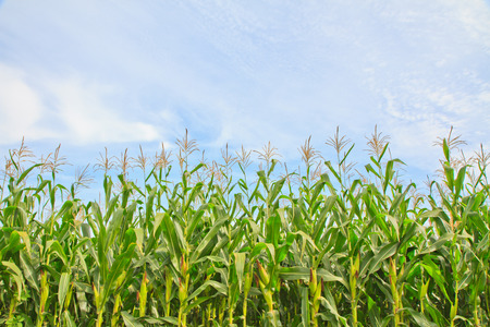 Rows of Growing Agricultural Crops on blue sky background Imagens