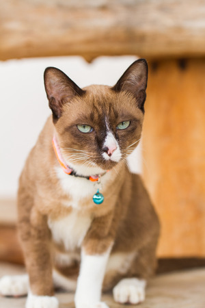 shorthair cat looking, on floor