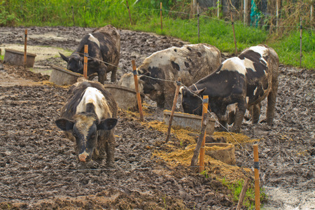 mire: Cows are eating at farm in mire.