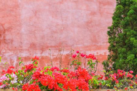 Bougainvillea spectabilis Willd. Or paper flower in  flowerpot  on red wall