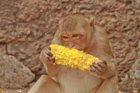 A monkey is eating the  corn