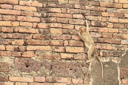 A monkey is climbing on wall