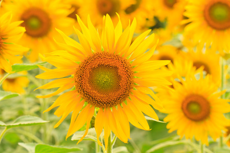 sunflowers in field, You can use background 스톡 콘텐츠