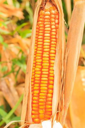A wall of corn stalks full of corn, in field.