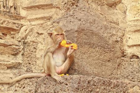 A monkey is eating the  papaya 스톡 콘텐츠