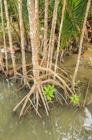 Rhizophora or mangrove plants in water 스톡 콘텐츠