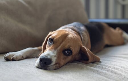 Resting beagle dog on the couch. Beggingly looks at the owner. Pets. Stock Photo