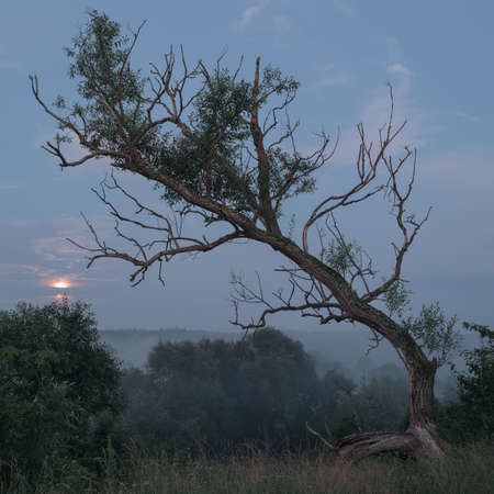 Calm mystical landscape at dawn. Silhouette of a dry tree on a hill with moon and fog.