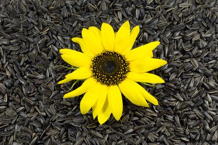 nibble: Beautiful Sunflower on Sunflower Seeds Black Background