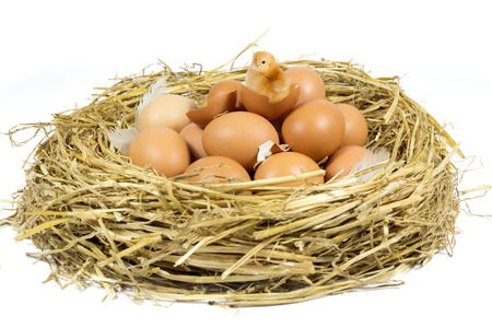 incubate: Nest with Brown Chicken Eggs and Cute Little Chicken Isolated on White Background  Stock Photo