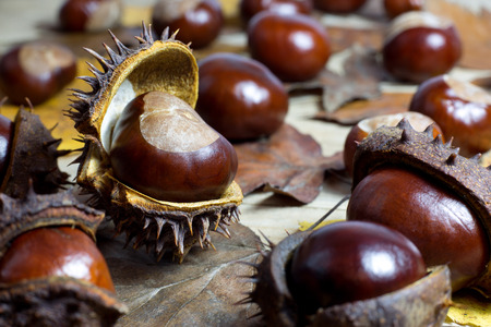 Fresh Shiny Chestnuts with Open Husk on an Old Rustic Wooden Table with Brown Autumn Leaves photo
