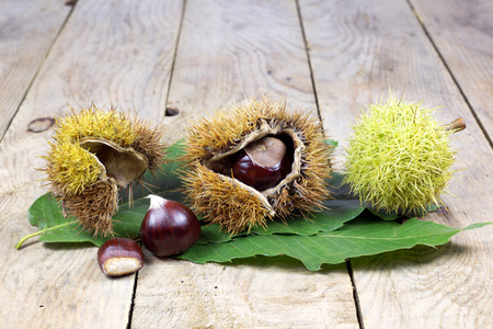 Fresh Shiny Chestnuts with Open Husk on an Old Rustic Wooden Table with Green Leaves photo
