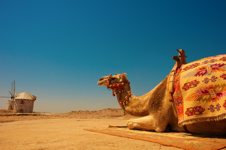scorching: camel resting under the scorching sun Stock Photo