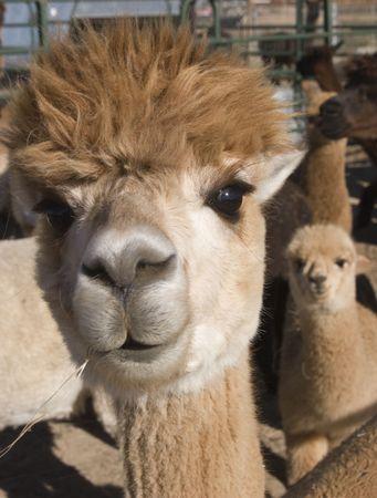 alpaca: Curious Alpaca