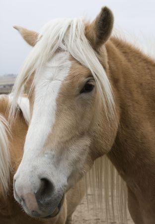 Haflinger Horse Portrait Stok Fotoğraf